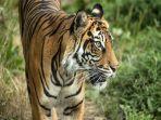 ilustrasi-harimau-12.jpg