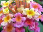 ilustrasi-tanaman-bunga-lantana.jpg