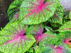 ilustrasi-tanaman-caladium-bicolor-atau-keladi-merah.jpg