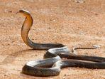 ilustrasi-ular-king-kobra.jpg