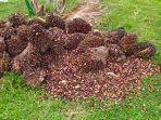 kelapa-sawit-curianaa.jpg