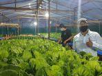 listrik-dorong-pertumbuhan-bisnis-agrikultur-hidroponik-di-siantan-pontianak.jpg