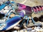 lobster-cherax-pulcher-jantan-dewasa_20150520_103923.jpg