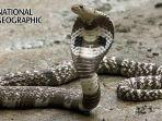 mengenal-jenis-ular-berbisa-dengan-kandungan-racun-yang-bisa-sebabkan-kematian-pada-manusia.jpg