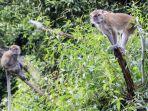 monyet-satu-di-antara-hewan-yang-punya-ekor-panjang.jpg