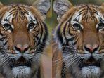 nadia-harimau-di-kebun-binatang-bronx.jpg