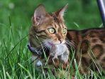 penyebab-kucing-bawa-hewan-buruan-ke-rumah-dan-cara-agar-kucing-tidak-bawa-bangkai-ke-rumah.jpg