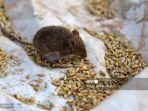 penyebab-tikus-betah-di-rumah-lengkap-cara-mudah-usir-tikus-dengan-bahan-di-dapur.jpg