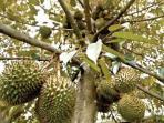 pohon-durian_20160514_155312.jpg
