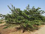 pohon-kersen-5445455454.jpg