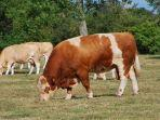 sering-dijadikan-hewan-kurban-idul-adha-inilah-5-jenis-sapi-paling-istimewa-di-dunia.jpg