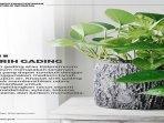 sirih-gading-tanaman-menghasilkan-udara-segar-jenis-sirih-gading.jpg