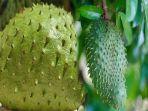 tanaman-dengan-nama-latin-annona-muricata-memiliki-khasiat-untuk-melawan-kanker.jpg