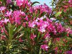 tanaman-hias-bunga-jepun-oleander.jpg