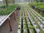 tanaman-hidroponik-hasil-budidaya-pesantren-hidayatul-mubtadiin.jpg
