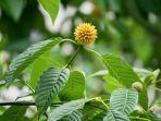 tanaman-kratom-mitragyna-speciosa-korth.jpg