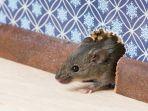 tikus-rumah_20170903_092543.jpg