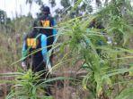 tim-badan-narkotika-nasional-bnn-republik-indonesia-memusnahkan-lima-hektare-ladang-ganja.jpg
