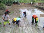 tim-pemurnian-padi-lokal-di-lahan-sawah-badan-penyuluhan-pertanian-bp2k-kecamatan-jelimpo.jpg