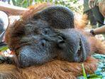 translokasi-terhadap-satu-individu-orangutan-jantan-dewasa.jpg