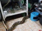ular-masuk-rumah-cobra-king.jpg
