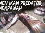 video-penampakan-ikan-tapah-di-lokasi-karhutla-mempawah-predator-air-tawar-jadi-sumber-penghasilan.jpg