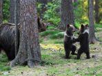 viral-momen-anak-beruang-kompak-menari-di-tengah-hutan-bak-adegan-di-film-disney.jpg