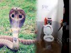 wanita-ini-syok-temukan-ular-kobra-bermata-satu-tiba-tiba-muncul-dari-dalam-toilet.jpg
