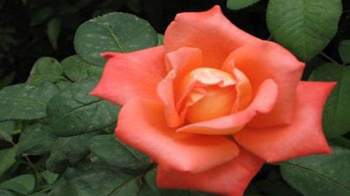 Bunga Mawar Atasi Infeksi Saluran Kemih, Jerawat, Bau Mulut dan 11 Masalah Ini