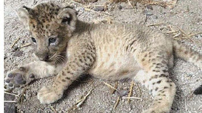 Pertama di Dunia, Anak Singa Lahir dari Inseminasi Buatan