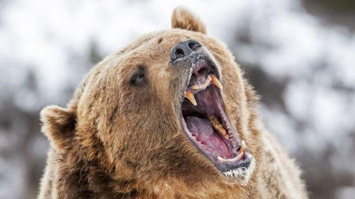 Seekor Beruang Seret dan Bunuh Wanita di Amerika