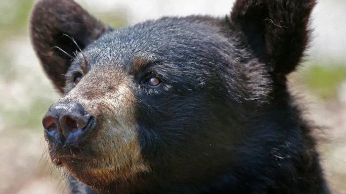 Mengapa Beruang Tak Takut pada Manusia?