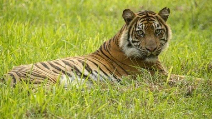 Seorang Remaja Riau Diterkam dan Dibawa Harimau ke Hutan