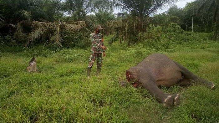 Seekor Gajah Ditemukan Mati Tanpa Kepala, Diduga Agar Mudah Diambi Gadingnya