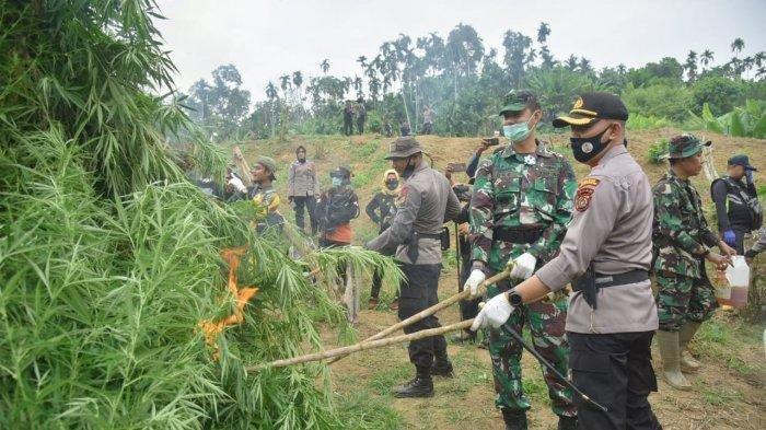 Personel Gabungan Temukan 5 Ha Ladang Ganja di Aceh Utara