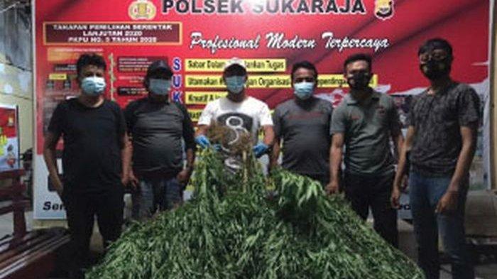 Polisi Bongkar Ladang Ganja Berkedok Kebun Kopi