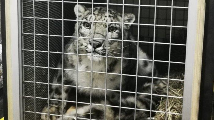 Snow Leopard hewan langka dunia yang diangkut Garuda Indonesia dari Amsterdam. Hewan ini memliki tingkat kepunahan paling tinggi di dunia.