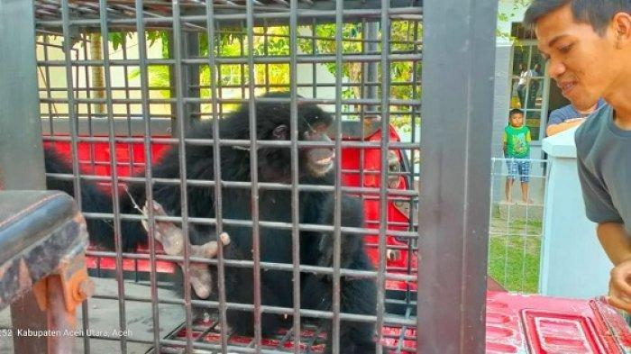 BKSDA Aceh Amankan Siamang Serahan Lanal