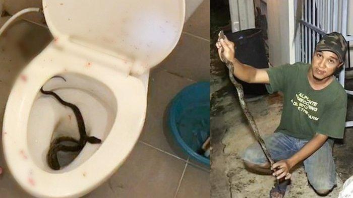 Duduk di Toilet, Penis Seorang Pria Digigit Ular Piton Tetangga