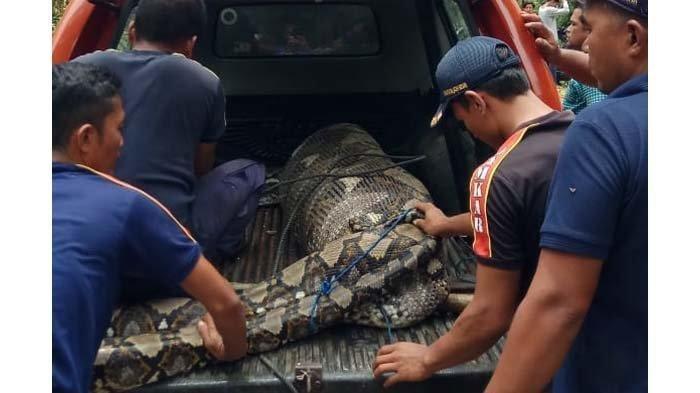 Ular Piton Raksasa Mangsa Anak Lembu di Aceh Besar