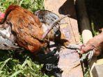 ayam-jantan-mati-setelah-menjadi-praktek-perjudian-dengan-cara-sabung-ayam-di-wilayah-londa.jpg