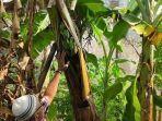 buah-pisang-tumbuh-di-tengah-batang-pohonnya-di-kabupaten-majalengka.jpg