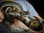ular-kebakaran.jpg