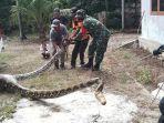 warga-menangkap-seeokor-ular-ukuran-sanca-memangsa.jpg