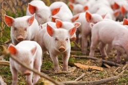 Paksa Muslimah Cicipi Babi, Sekolah Kuliner Denmark Didenda 6.000 Dolar