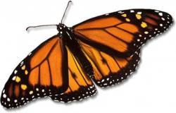 Metamorfosis Kupu-kupu Identik dengan Puasa Ramadhan?