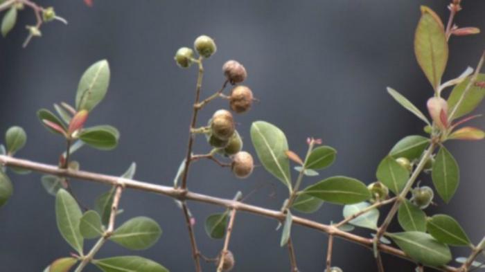 Pohon Obat Andalan Nabi Muhammad