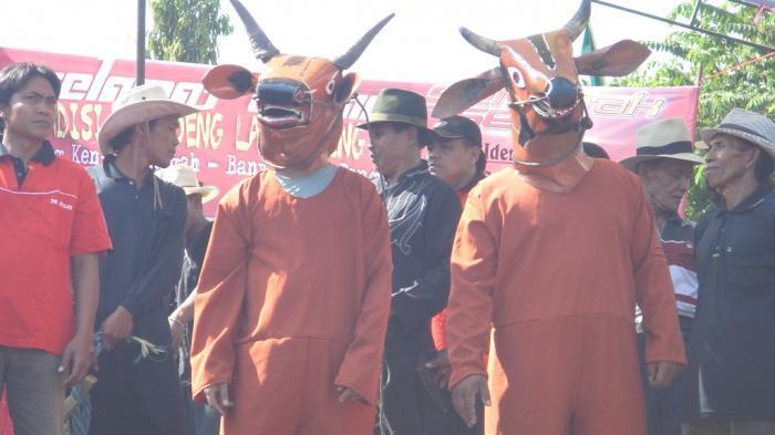 1 Muharram, Warga Banyuwangi Gelar Ritual Sapi-sapian