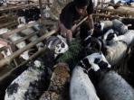 penjualan-domba-hewan-kurban.jpg