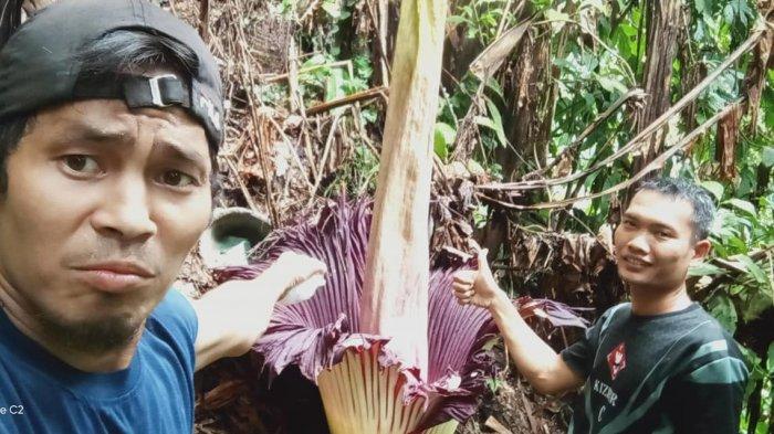Kuntum bunga bangkai (Amorphopalus titanuum) ditemukan tumbuh di tengah hutan dekat perkebunan warga Desa Jontor, Kecamatan Penanggalan, Kota Subulussalam, Minggu (27/10/2019)